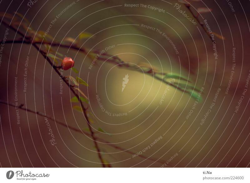 Moin Moin 2011 Umwelt Natur Pflanze Sträucher Blatt Farbfoto Außenaufnahme rot grün Unschärfe Menschenleer Frucht Zweig Textfreiraum Tag