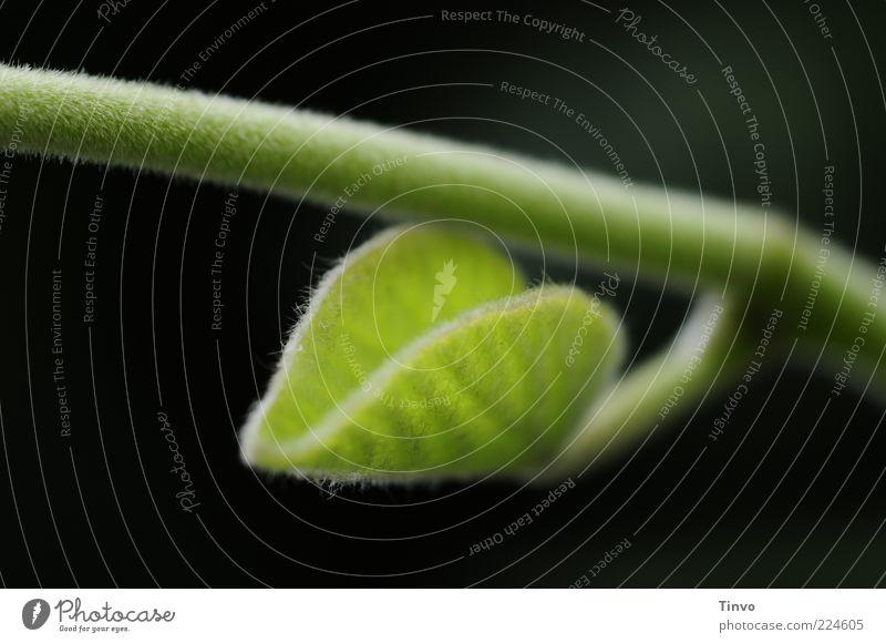 ein Anfang Natur Frühling Sommer Pflanze Blatt Grünpflanze Wildpflanze Wachstum grün schwarz zartes Grün Stengel Farbfoto Außenaufnahme Menschenleer