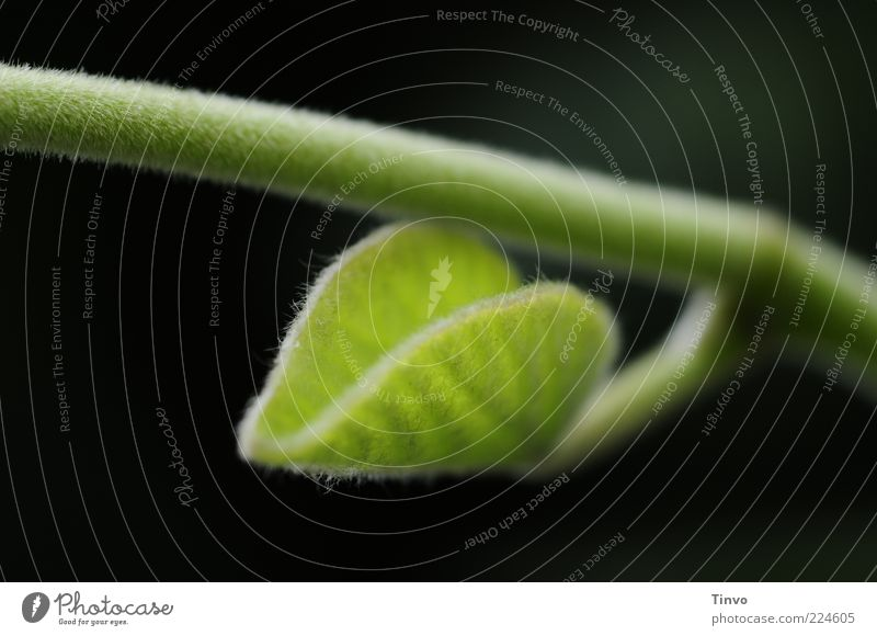 ein Anfang Natur grün Pflanze Sommer Blatt schwarz Frühling Wachstum Stengel Trieb Grünpflanze Wildpflanze Blattgrün zartes Grün