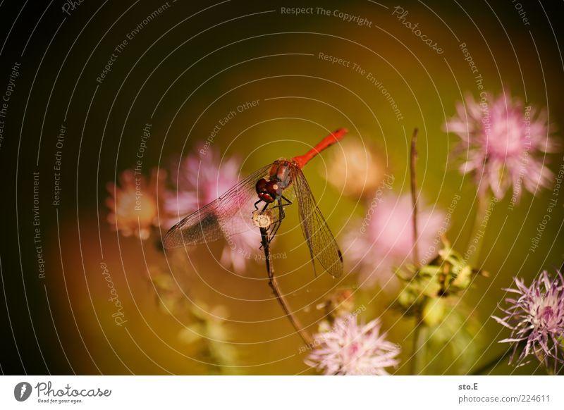 die Roten kommen Umwelt Natur Pflanze Tier Frühling Sommer Blume Blüte sitzen einzigartig schön Insekt Libelle Libellenflügel rot Farbfoto Außenaufnahme