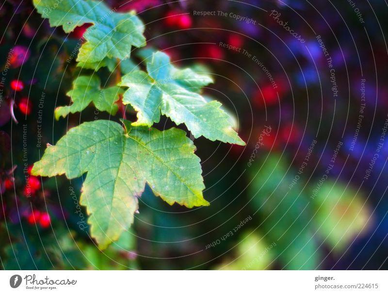 Ranken vom letzten Jahr - ein kleiner Neujahrsgruß für Slylvi Umwelt Natur Pflanze Herbst dunkel hell grün rot Kontrast Beerensträucher Blatt Zacken