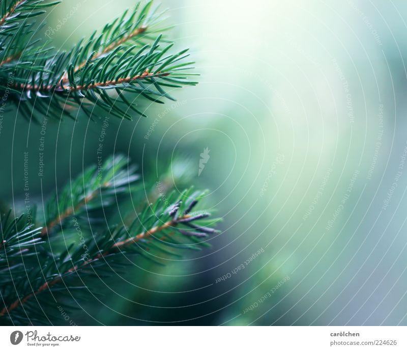 Zweige Umwelt Natur Baum blau grün Tannenzweig Nadelbaum Tannennadel Farbfoto Detailaufnahme Menschenleer Textfreiraum rechts Schwache Tiefenschärfe Unschärfe