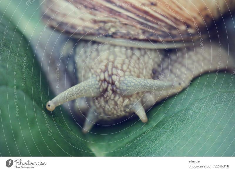 unter Beobachtung Bioprodukte Blatt Wildtier Schnecke Weinbergschnecken Fühler Auge Schneckenhaus authentisch Ekel kalt klein schleimig Zufriedenheit