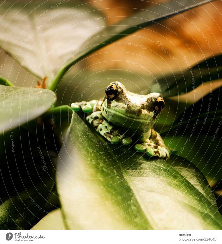 MEIN Gummibaum grün Pflanze Blatt Tier Kopf hell braun Zufriedenheit warten glänzend sitzen beobachten Gelassenheit Frosch exotisch Tierporträt