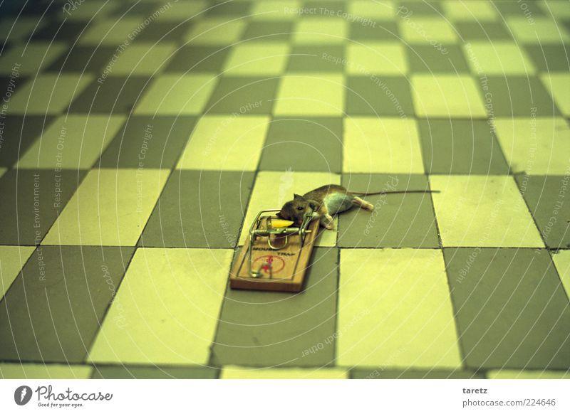 Pech gehabt Totes Tier Maus 1 bedrohlich Tod Schmerz Angst Entsetzen Todesangst Zukunftsangst gefährlich Stress Schädlinge töten Mord Falle Mausefalle