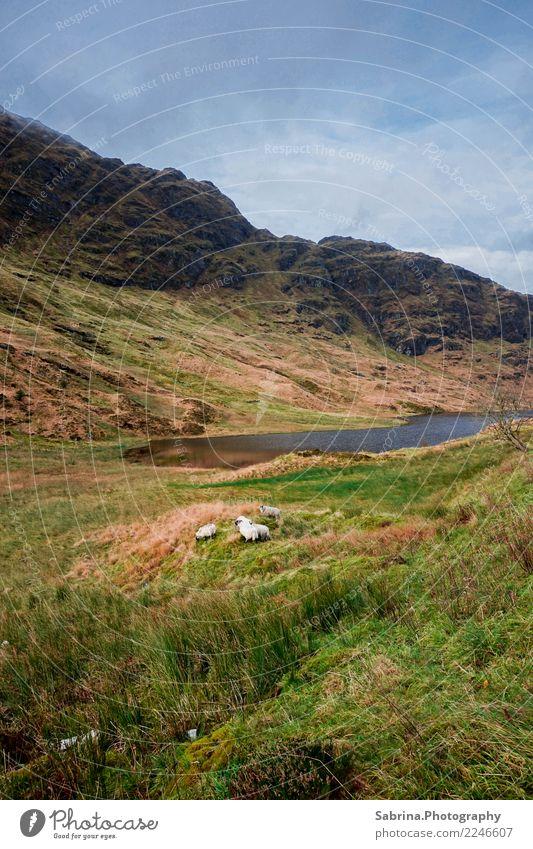 Wir sind Schaf. Natur Landschaft Pflanze Tier Wolken Herbst Winter Gras Sträucher Wiese Berge u. Gebirge Seeufer Fell 1 4 Tiergruppe Tierfamilie beobachten
