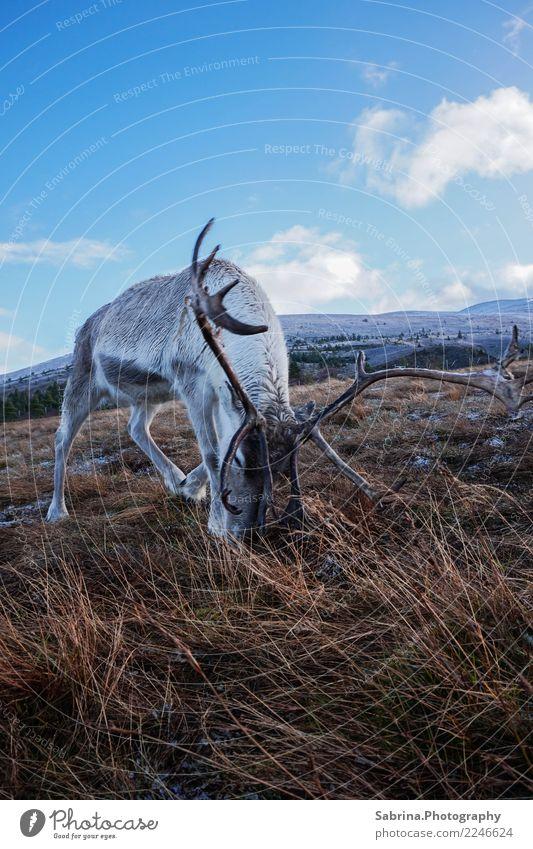 Hungry Rudolph. Natur blau schön weiß Sonne Erholung Tier Wolken Winter Berge u. Gebirge Essen Herbst Schnee Gras braun Wildtier