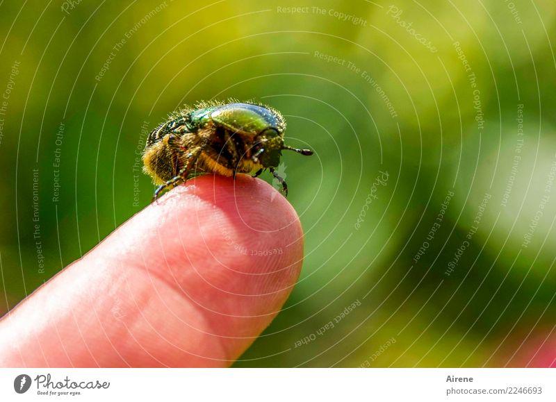 nach dem Goldbad Finger Pollen Tier Käfer Rosenkäfer 1 sitzen glänzend schön klein gold grün Akzeptanz Vertrauen Zusammensein Tierliebe Flugangst zutraulich