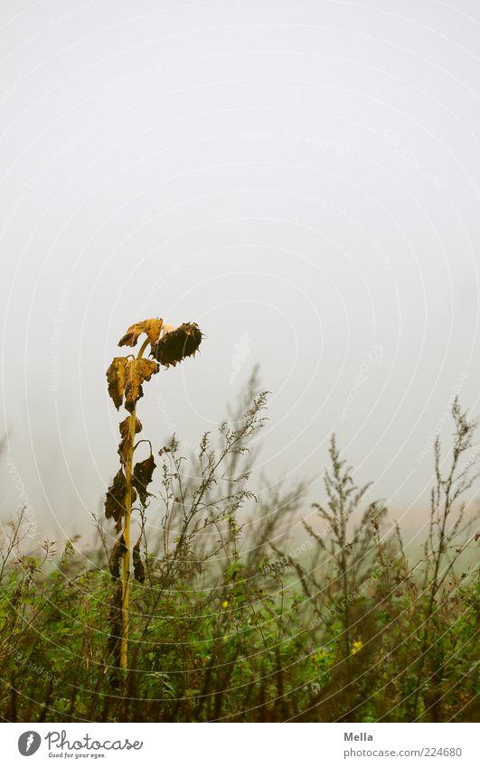 Judgement day Umwelt Natur Pflanze Herbst Klima Wetter schlechtes Wetter Nebel Blume Gras Blüte Sonnenblume Wiese verblüht dehydrieren natürlich trist grau