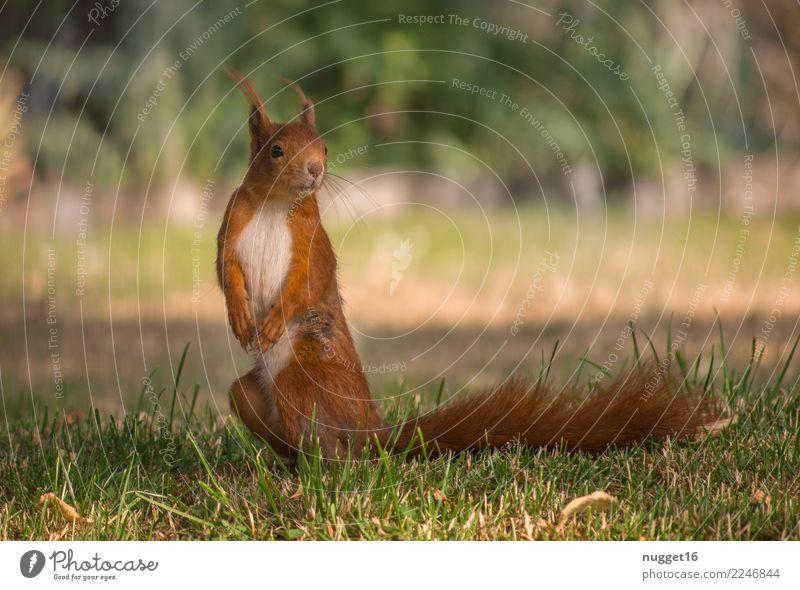 Eichhörnchen Umwelt Natur Tier Sonne Sonnenlicht Frühling Sommer Herbst Schönes Wetter Gras Sträucher Garten Park Wiese Wald Wildtier Tiergesicht Fell Krallen