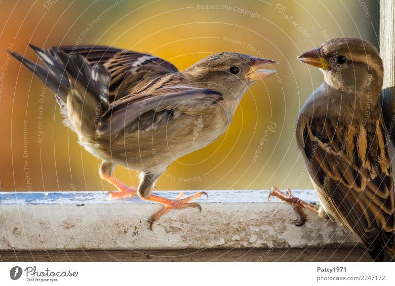 Spatzen Tier Wildtier Vogel 2 Konflikt & Streit Aggression authentisch frech natürlich Wut braun Gefühle Stimmung Ärger gereizt Natur Farbfoto Außenaufnahme