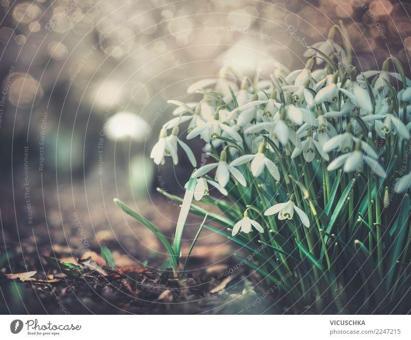 Schneeglöckchen im Garten Lifestyle Design Natur Landschaft Pflanze Frühling Blume Blatt Blüte Park Frühlingsgefühle Frühlingsblume Frühlingstag Frühblüher