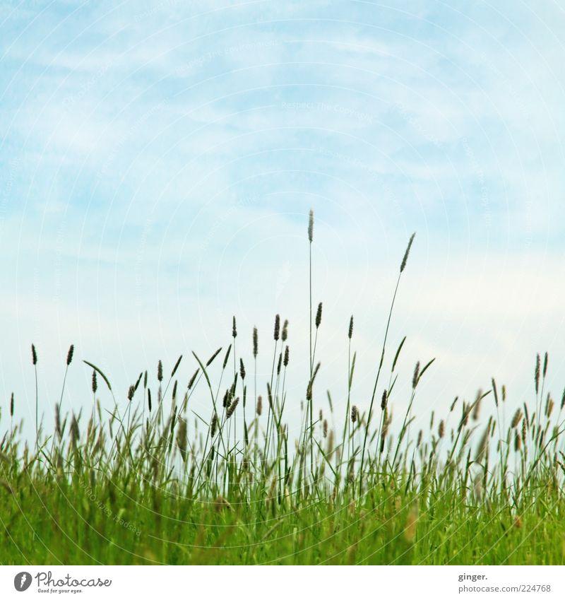 Wenn jetzt Sommer wär... Umwelt Natur Landschaft Pflanze Himmel Wolken Schönes Wetter Gras Wiese blau grün Grasland grasgrün Graswiese Gräserblüte