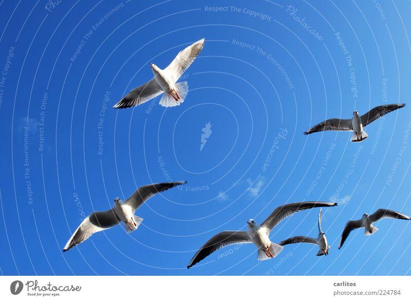 Gebratene Tauben sind gerade aus .... Himmel weiß blau Tier Freiheit oben Wind fliegen ästhetisch Feder Tiergruppe Flügel Möwe Schönes Wetter Schweben Zusammenhalt