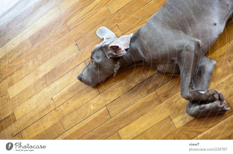 Hundeleben 2.0 schön Erholung grau Holz Glück träumen Hund Traurigkeit Linie Nase schlafen liegen ästhetisch Streifen authentisch Häusliches Leben