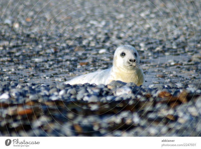 Jungtier Umwelt Natur Tier Urelemente Erde Winter Küste Strand Nordsee Insel Wildtier Tiergesicht Fell 1 frei nass natürlich wild weich grau weiß Helgoland