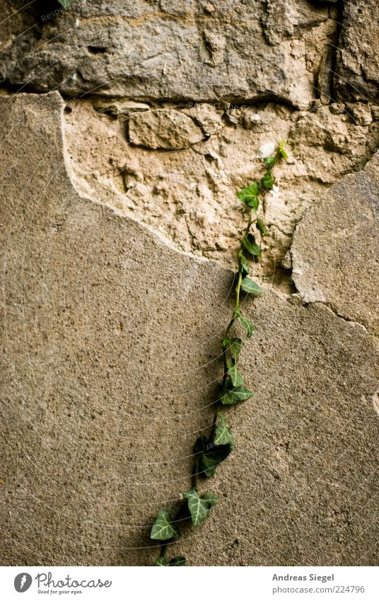 Mögliche Unmöglichkeit Natur Pflanze Wand Umwelt Mauer Fassade Wachstum kaputt wild trist Wandel & Veränderung Vergänglichkeit verfallen Verfall Putz exotisch
