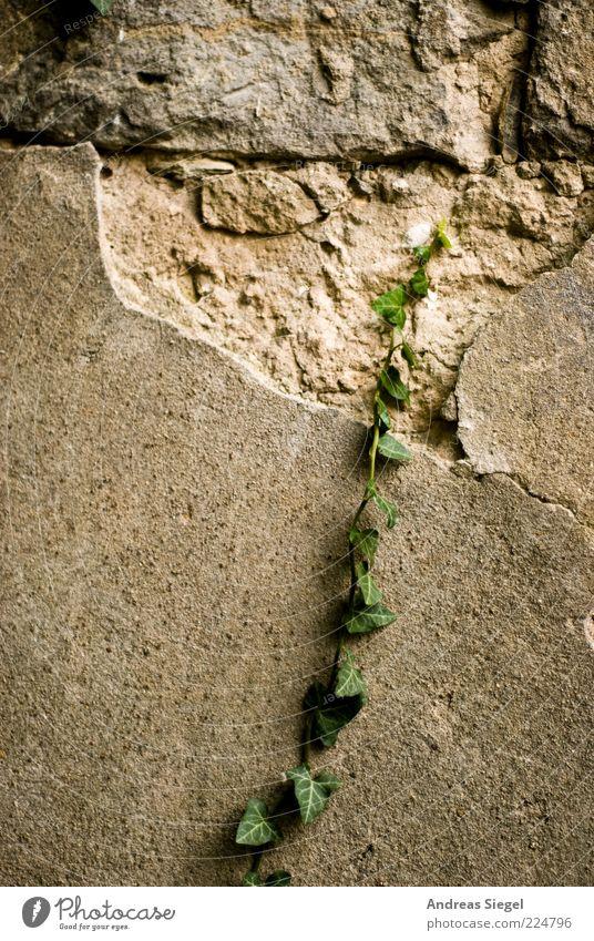 Mögliche Unmöglichkeit Umwelt Natur Pflanze Efeu Grünpflanze Wildpflanze exotisch Mauer Wand Fassade Putz abblättern Wachstum rebellisch trist wild anstrengen