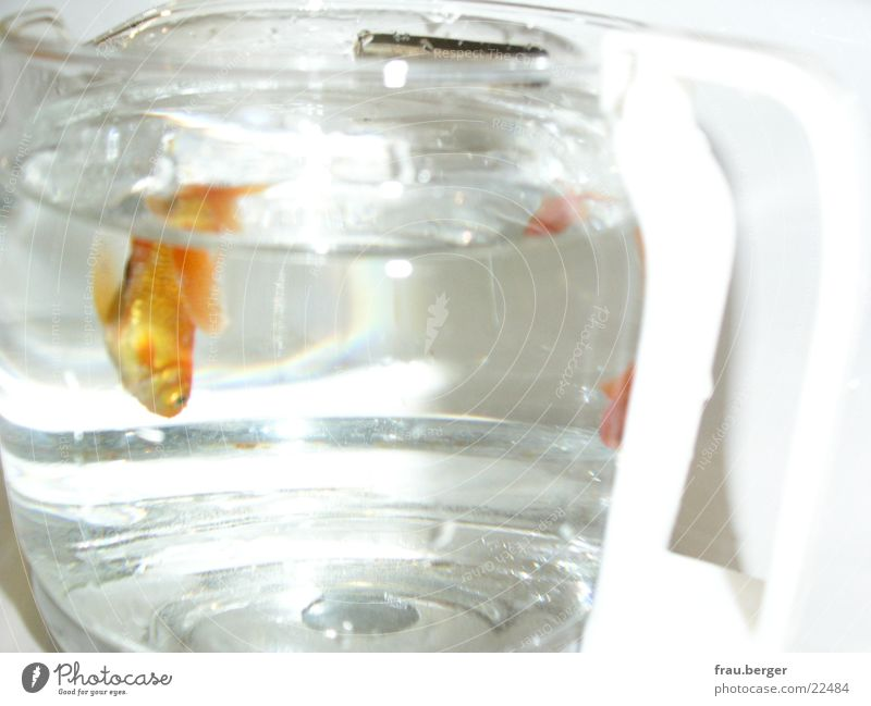 goldfisch in der kaffeekanne Wasser Freiheit gold Kaffee Kannen Goldfisch