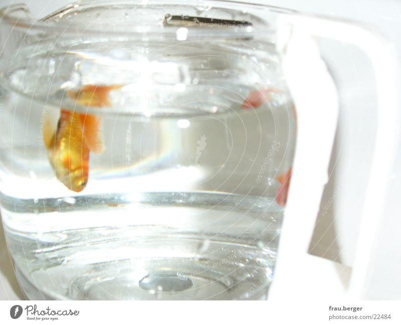 goldfisch in der kaffeekanne Wasser Freiheit Kaffee Kannen Goldfisch