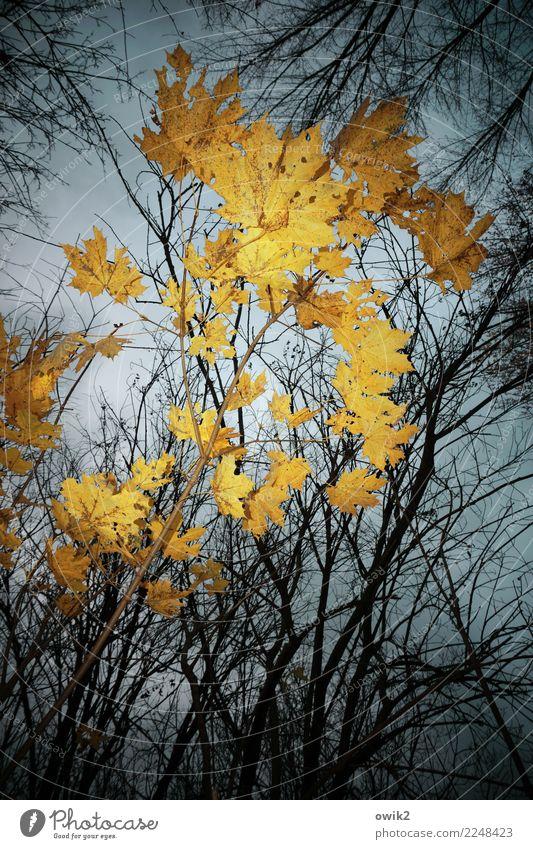 Vergilbt Umwelt Natur Pflanze Himmel Wolken Herbst Schönes Wetter Baum Blatt Ahorn Ahornblatt Zweige u. Äste Wald leuchten gelb orange Vergänglichkeit