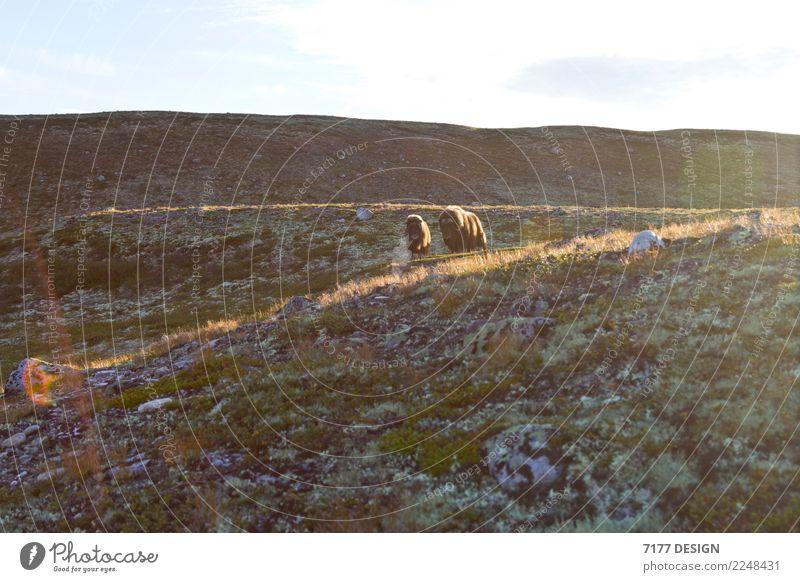 Moschusochse - zu nah! Abenteuer Umwelt Natur Landschaft Tier Sonnenlicht Moos Hügel Dovrefjell-Sunndalsfjella-Nationalpark Wildtier Kuh Fell 2 Tiergruppe Herde