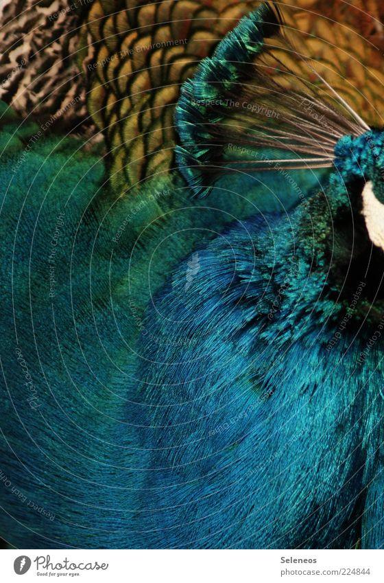 Gefieder Natur Tier Umwelt Kopf Vogel glänzend ästhetisch Feder weich Zoo edel Pfau gefiedert Tierliebe Streichelzoo Pfauenfeder