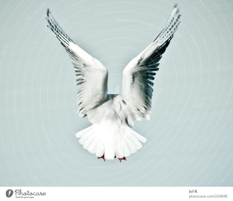 Freiheit Himmel Natur Ferien & Urlaub & Reisen weiß Tier Bewegung Luft Vogel fliegen elegant Wind beobachten Flügel Metallfeder diszipliniert flattern
