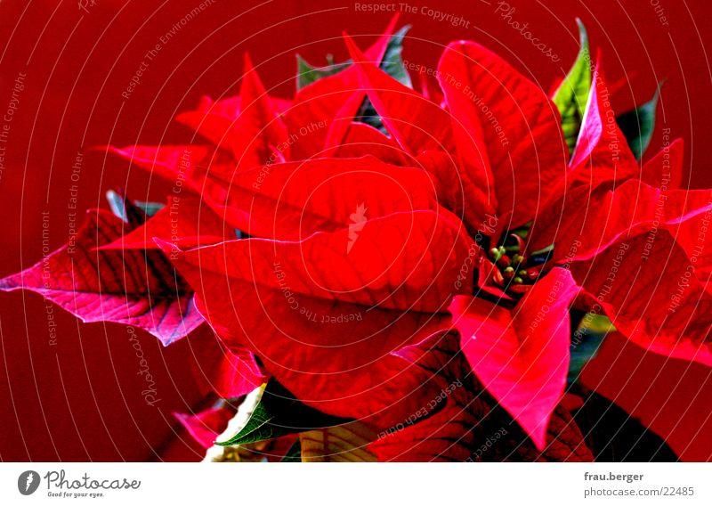 weihnachten mit stern rot Pflanze Blatt Physik Weihnachtsstern Weihnachten & Advent Stern (Symbol) blühten Wärme