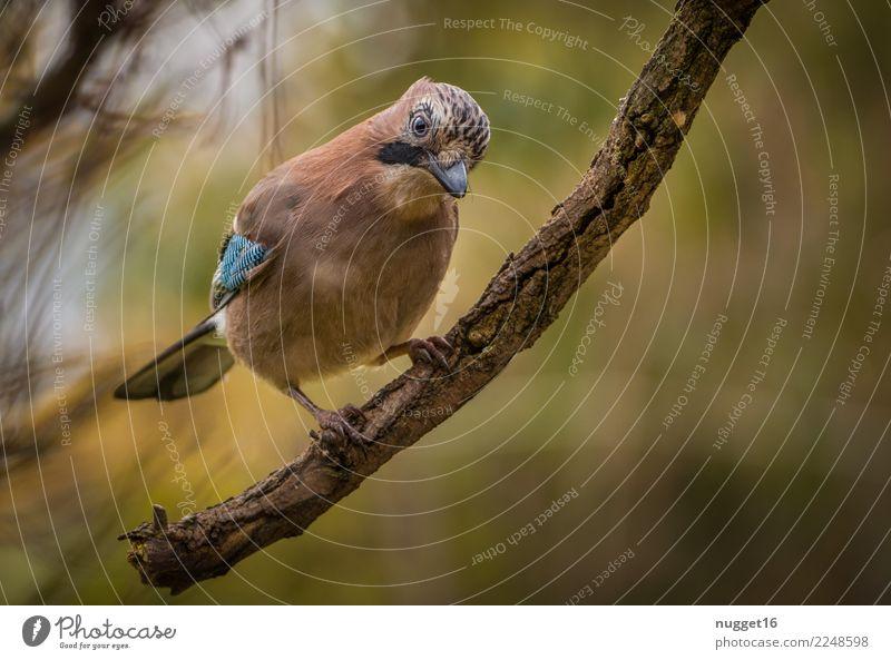 Eichelhäher Umwelt Natur Pflanze Tier Frühling Sommer Herbst Klima Schönes Wetter Baum Garten Park Wald Wildtier Vogel Tiergesicht Flügel Krallen 1 ästhetisch