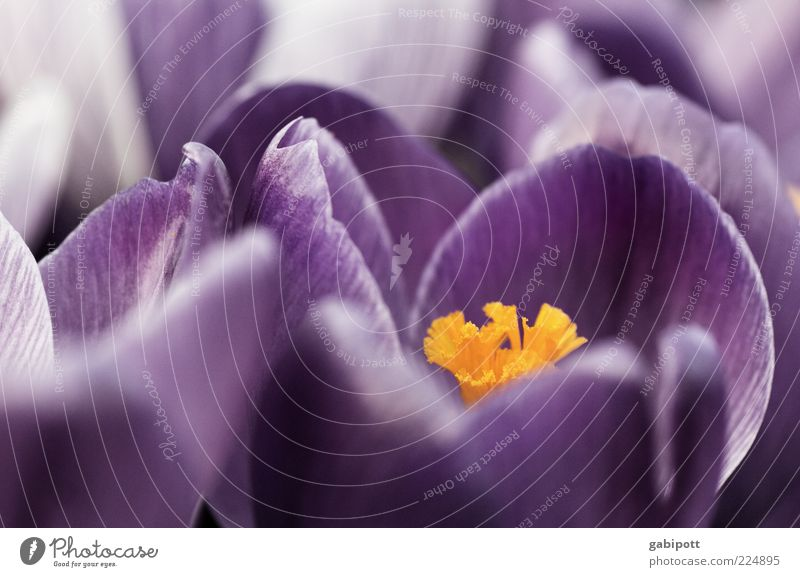 bald ist Ostern Natur Frühling Pflanze Blume Blatt Blüte Wildpflanze Krokusse Duft Freundlichkeit Fröhlichkeit blau gelb violett Lebensfreude Frühlingsgefühle