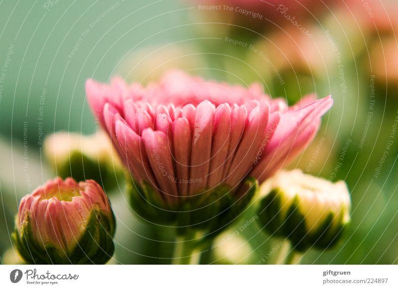 frühlingsgruß Natur Pflanze schön Blume Umwelt Blüte Frühling rosa frisch Kraft Fröhlichkeit ästhetisch Blühend Lebensfreude Stengel Blütenknospen