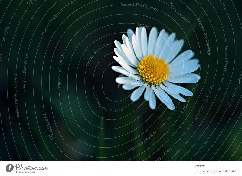you´re my sunshine Natur Pflanze Sommer schön grün weiß Blume gelb Blüte Wiese Garten Textfreiraum Geburtstag Blühend einfach Blütenblatt