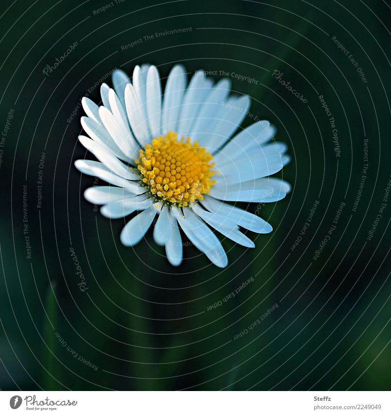 Jenseits des Mainstreams | unscheinbar Muttertag Geburtstag Natur Pflanze Frühling Sommer Blume Blüte Wildpflanze Gänseblümchen Blütenblatt Frühlingsblume