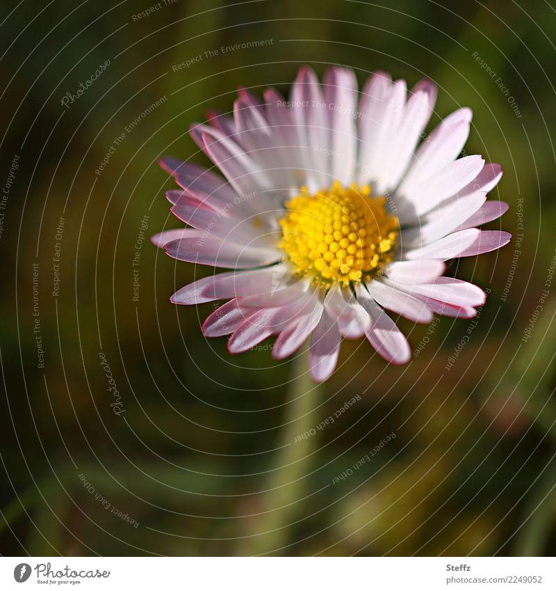 einfach sein Natur Pflanze Sommer schön grün Blume gelb Umwelt Blüte Frühling Wiese Garten rosa Blühend rund