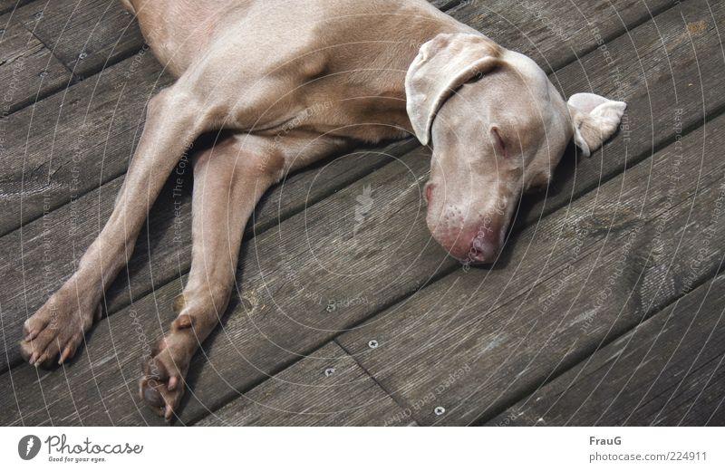 Schlafgast Erholung kurzhaarig Hund Holz liegen elegant muskulös träumen Müdigkeit Farbfoto Außenaufnahme Tag schlafen Pause ausruhend Zufriedenheit Ohr