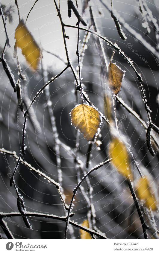 shapes behind the ice Natur Pflanze Winter Wetter schlechtes Wetter Eis Frost Blatt entdecken frieren hängen leuchten Wachstum frisch schön Stimmung Birke