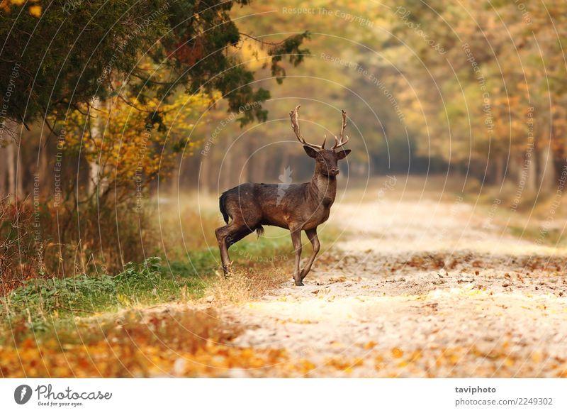 schöne Damhirsch Hirsch im Herbst Wald Spielen Jagd Mann Erwachsene Natur Landschaft Tier Baum Park Straße Wege & Pfade stehen natürlich wild braun Hirsche