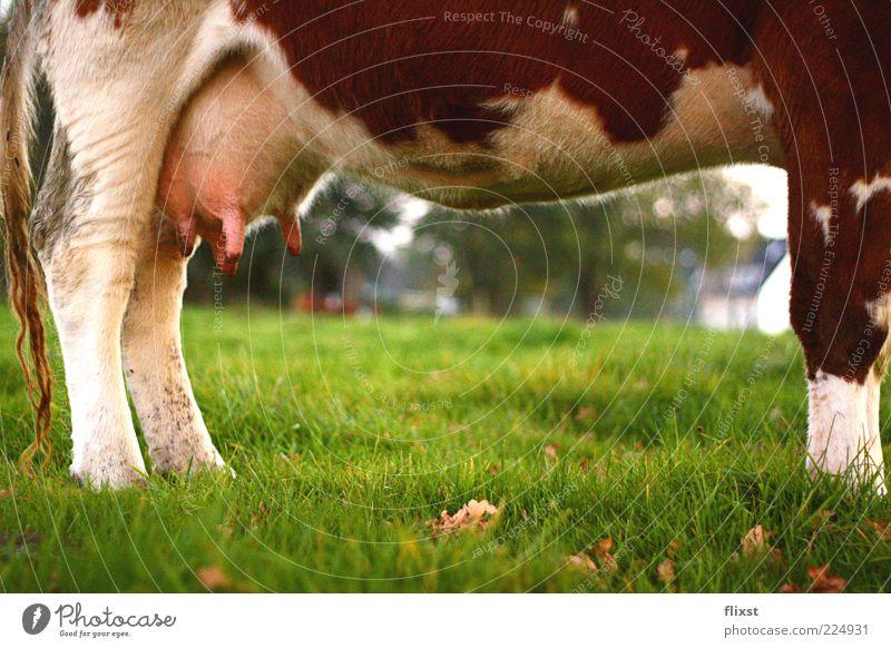 kuhl Tier Erholung Landschaft Gras Beine stehen Fell Landwirtschaft Kuh Schönes Wetter Rind Nutztier Vieh Euter Milchkuh Zitze