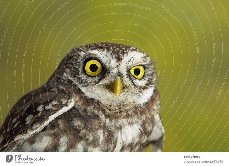 Porträt der niedlichen kleinen Eule schön Gesicht Natur Tier Vogel lustig natürlich wild braun gelb grün Weisheit Farbe Waldohreule Hintergrund Tierwelt Auge