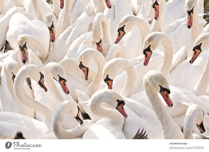 Schwäne in Krakau Umwelt Natur Tier Wildtier Schwan Flügel Tiergruppe Herde Schwarm Kommunizieren ästhetisch hell kuschlig lustig nass viele wild weiß Farbfoto