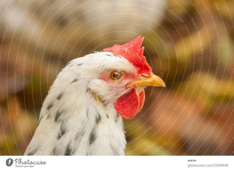 Portrait eines Huhnes in Seitenansicht Landwirtschaft Forstwirtschaft Natur Tier Haustier Nutztier Vogel Haushuhn 1 beobachten Blick Aggression natürlich