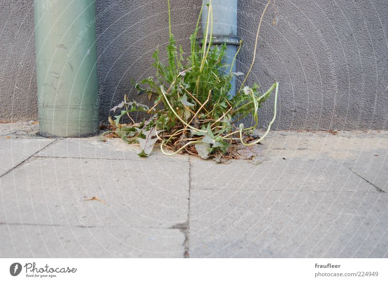 Löwenzahn Natur grün Pflanze Blatt grau Gras Umwelt Blüte Wachstum Bürgersteig Stengel Röhren Löwenzahn Fuge Grünpflanze Bodenplatten