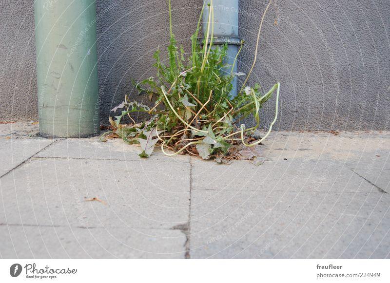 Löwenzahn Umwelt Natur Pflanze Gras Blatt Blüte Grünpflanze Wildpflanze Wachstum grau grün Unkraut Farbfoto Gedeckte Farben Außenaufnahme Menschenleer