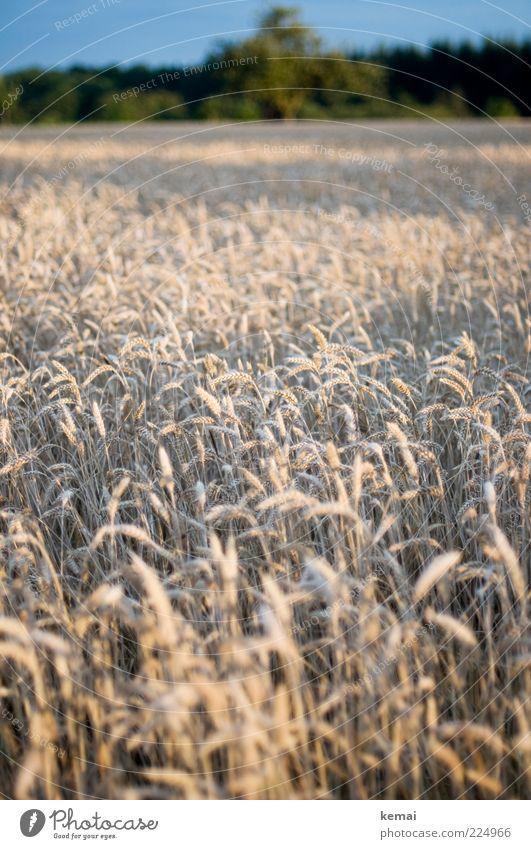 Ähre wem Ähre gebührt Himmel Natur Pflanze Sommer Landschaft Umwelt hell Feld Wachstum Getreide Landwirtschaft Schönes Wetter Ackerbau Kornfeld Weizen Ähren