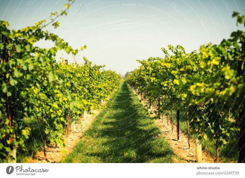 Grüner Daumen! Umwelt Natur Landschaft Tier Schönes Wetter Pflanze Feld frisch Gesundheit Weinberg Weingut Weinbau Weintrauben Aussaat anbauen Landwirtschaft