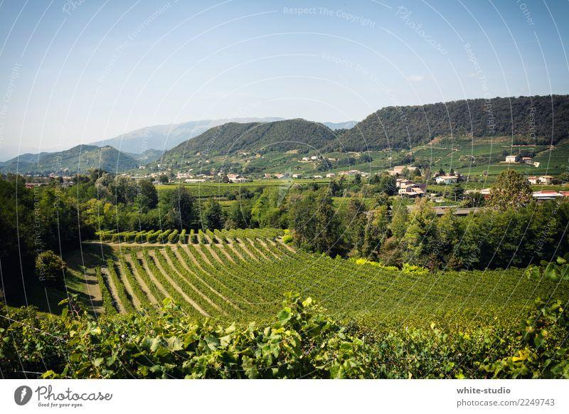 Grüner Daumen! Italienische Küche Umwelt Natur Landschaft Pflanze Sommer Schönes Wetter Sträucher Nutzpflanze Feld lecker saftig fruchtbar Landwirtschaft Wein