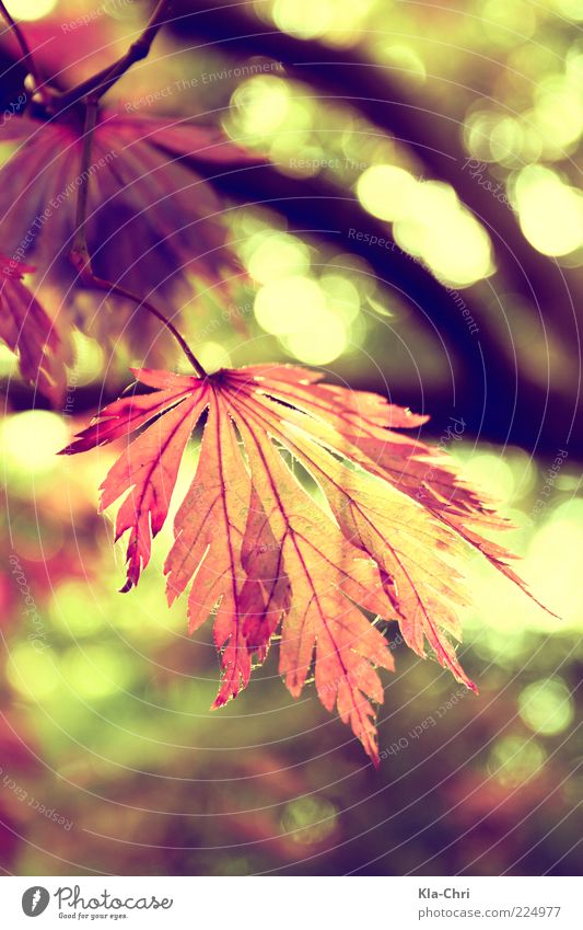 colors of autumn Natur Pflanze Blatt ruhig Herbst Glück nah Stengel Schönes Wetter herbstlich Blattadern Zweige u. Äste Zacken Herbstfärbung durchleuchtet