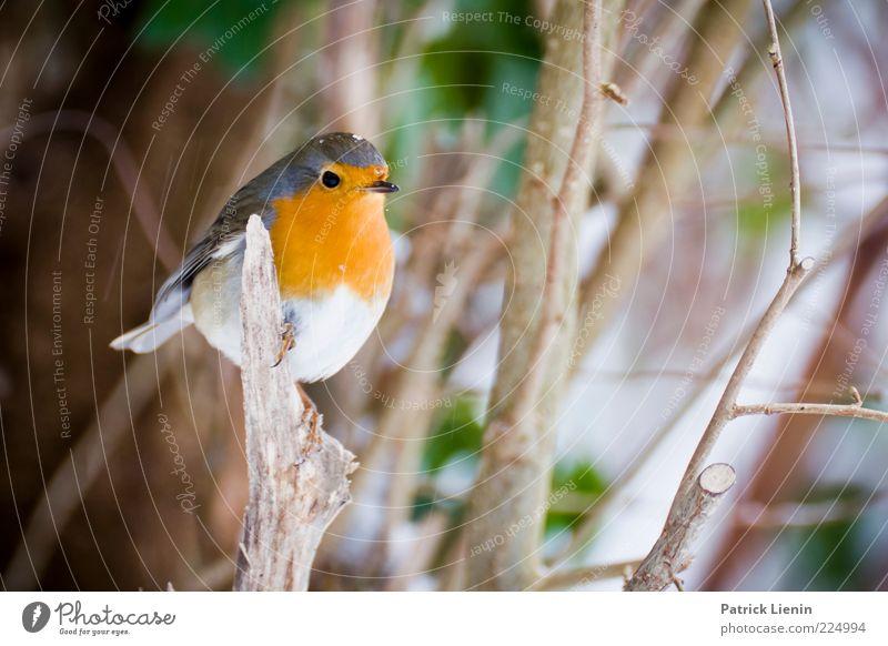Rotkehlchen Umwelt Natur Tier Winter Pflanze Wildtier Vogel 1 beobachten hocken Blick schön niedlich Farbfoto mehrfarbig Außenaufnahme Nahaufnahme Menschenleer