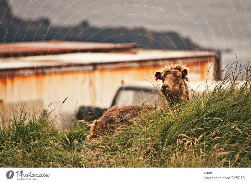 Schaf im Gras Natur Landschaft Tier Wetter Küste Nutztier Tiergesicht 1 authentisch natürlich Neugier niedlich wild braun grün Føroyar Wolle Tierzucht Viehzucht